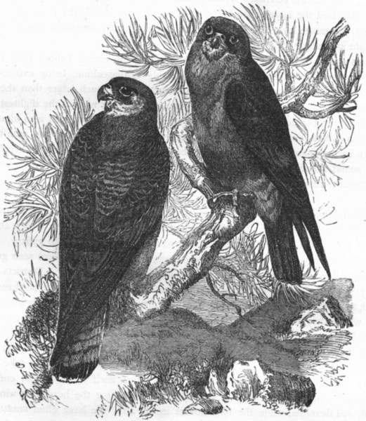 Associate Product BIRDS. Catcher. Bird Prey. Red-footed Evening Falcon c1870 old antique print