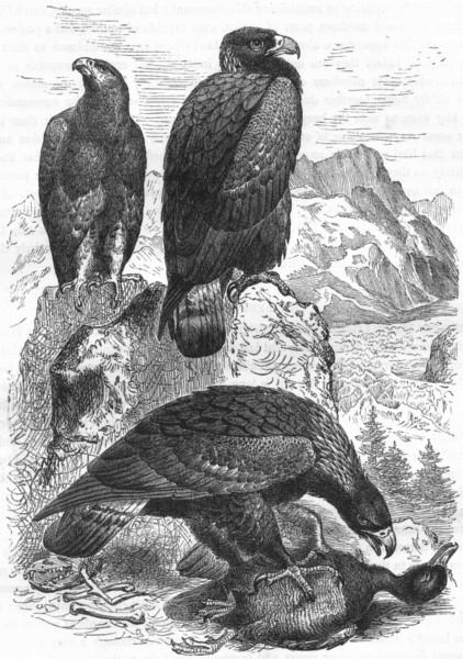Associate Product BIRDS. Raptorial. Eagle c1870 old antique vintage print picture