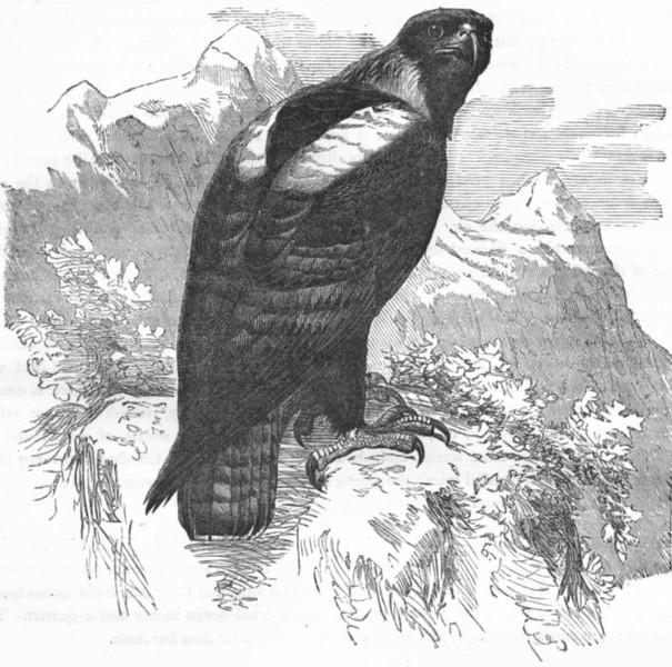 Associate Product BIRDS. Raptorial. Eagle. Imperial c1870 old antique vintage print picture