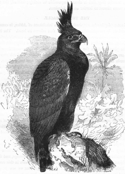 Associate Product BIRDS. Raptorial. Eagle. Tufted c1870 old antique vintage print picture