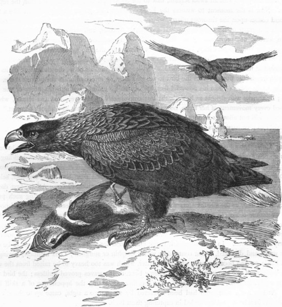 Associate Product BIRDS. Raptorial. Eagle. Sea c1870 old antique vintage print picture
