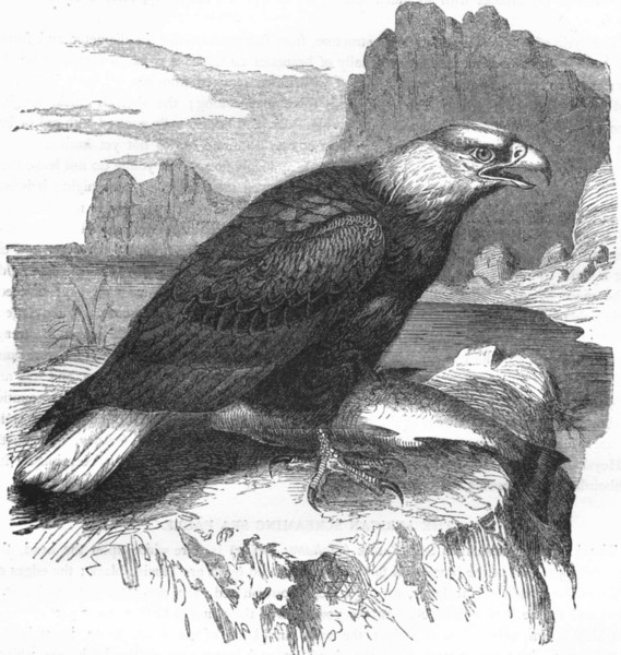 BIRDS. Raptorial. Eagle. White-headed Sea c1870 old antique print picture