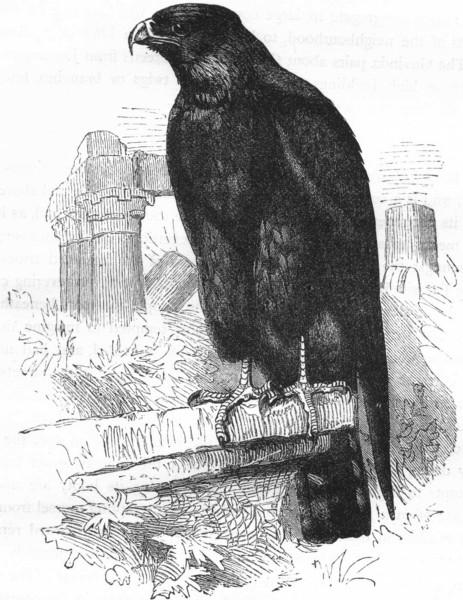 Associate Product BIRDS. Raptorial. True Kite. Parasite c1870 old antique vintage print picture