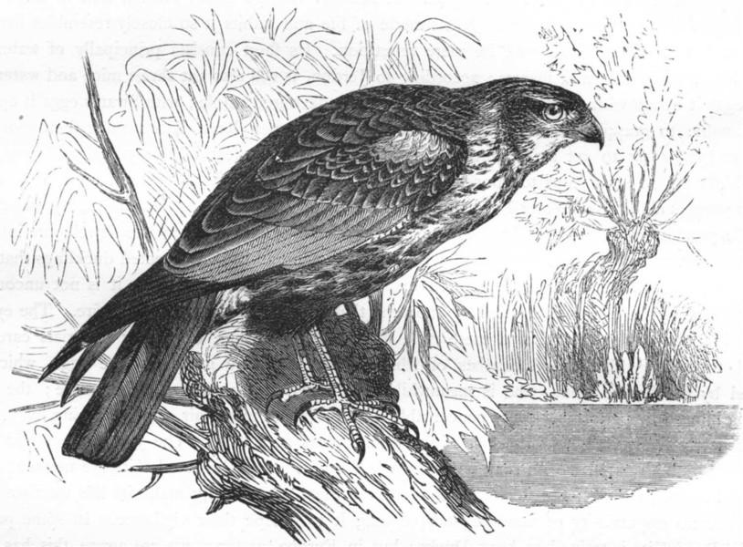 Associate Product BIRDS. Raptorial. True Kite. Reed Marsh Harrier c1870 old antique print
