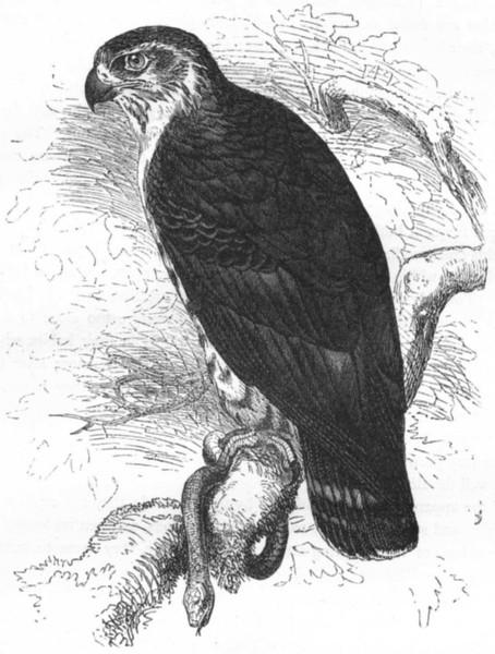 Associate Product BIRDS. Raptorial. Buzzard. Snake c1870 old antique vintage print picture
