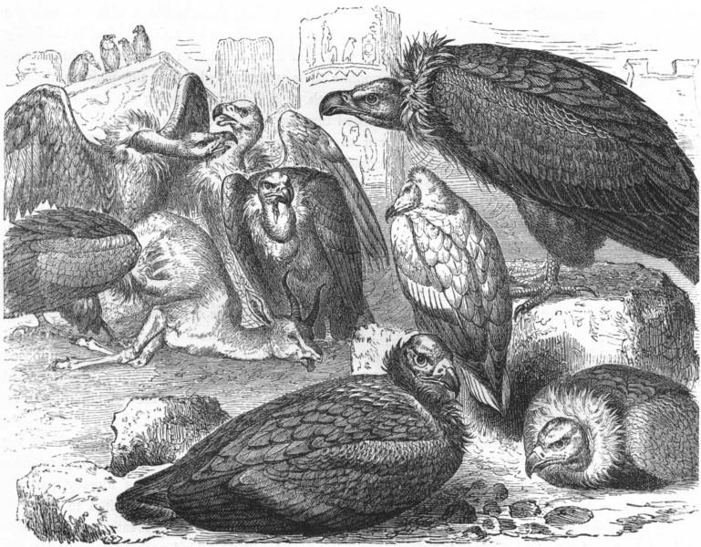 Associate Product BIRDS. Raptorial. Vulture. feasting c1870 old antique vintage print picture