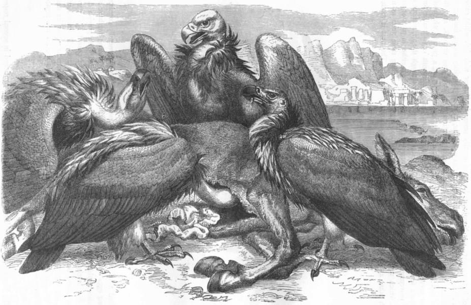 Associate Product BIRDS. Raptorial. Vulture. African c1870 old antique vintage print picture