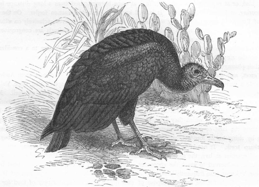 Associate Product BIRDS. Raptorial. Vulture. Urubu c1870 old antique vintage print picture