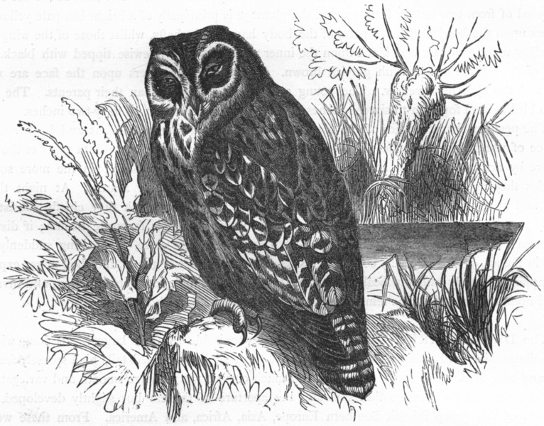 Associate Product BIRDS. Owl. Day. Marsh c1870 old antique vintage print picture