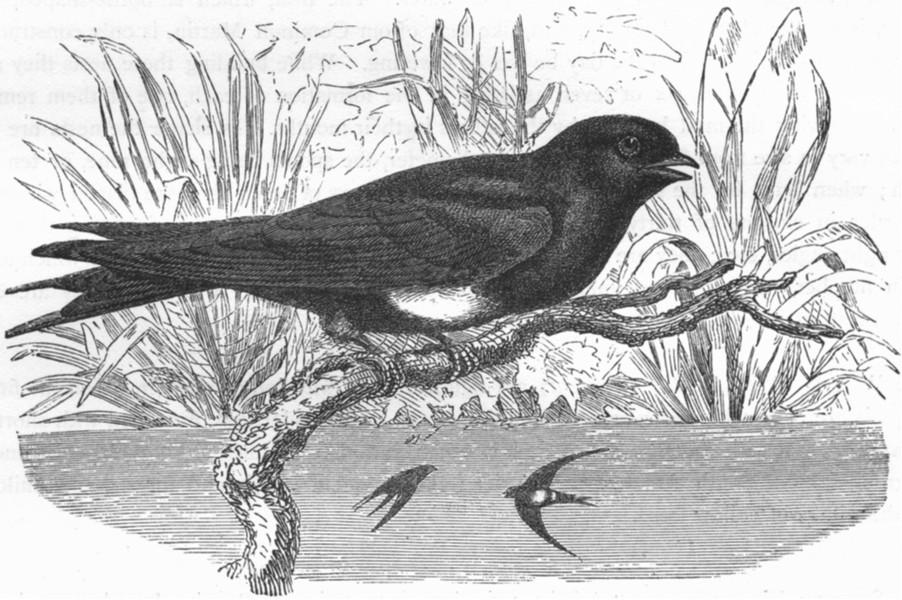 Associate Product BIRDS. Gaper. Mountain Shore Swallow. Ariel c1870 old antique print picture