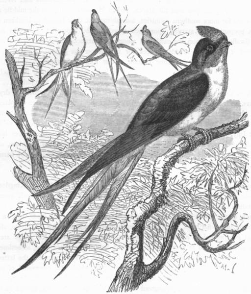 BIRDS. Gaper. Swift. Klecho c1870 old antique vintage print picture