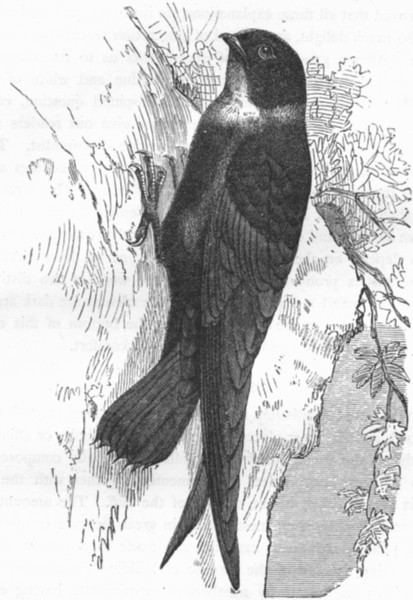 Associate Product GAPER. Swift. White-Throated Prickly-Tailed c1870 old antique print picture