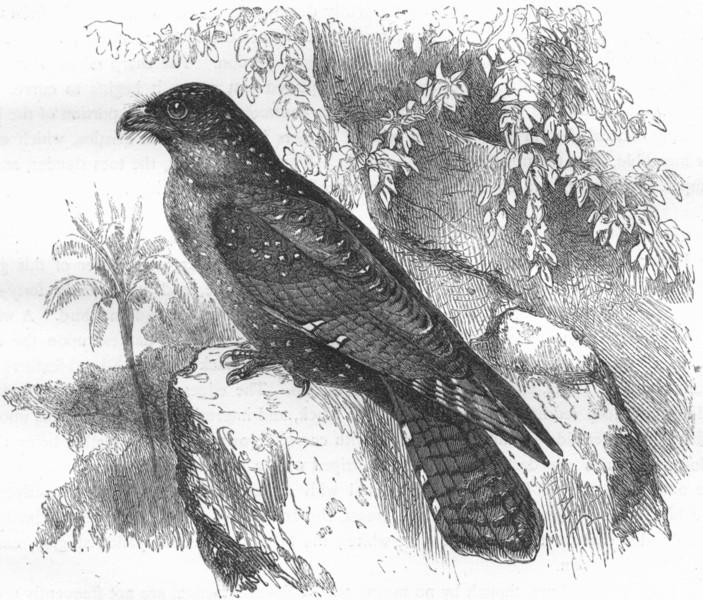 Associate Product BIRDS. Gaper. Night Jar Goatsucker. Oil Bird c1870 old antique print picture