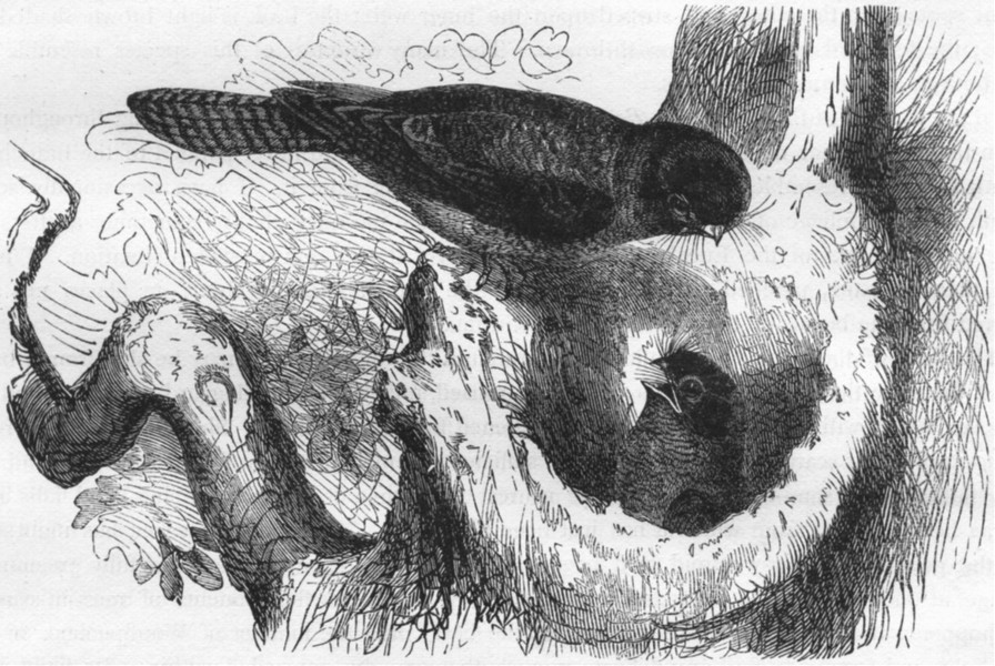 Associate Product GAPER. Night Jar Goatsucker. True Dwarf Owl Swallow c1870 old antique print