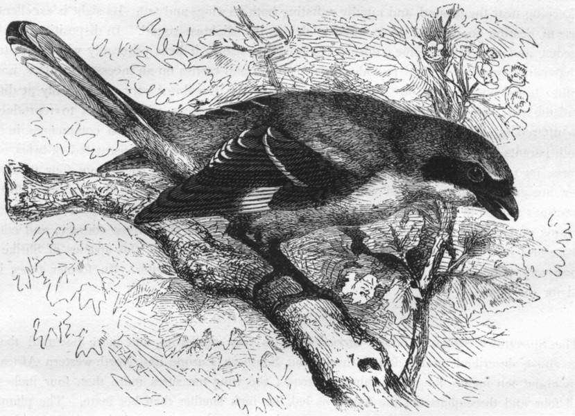 BIRDS. Singing. Tooth-Beaked. Sentinel Butcher Bird c1870 old antique print