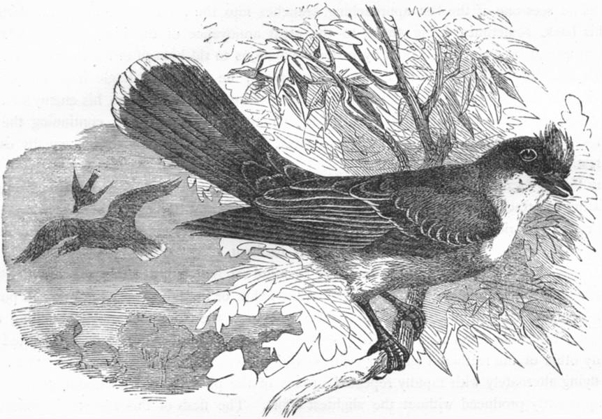 Associate Product SINGING FLY-CATCHER. True Tyrant Shrike, King Bird c1870 old antique print