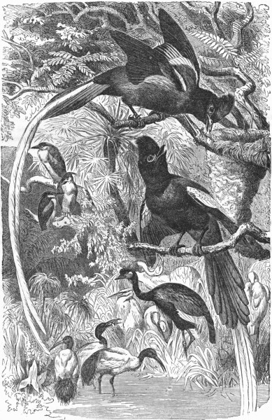 Associate Product BIRDS. Singing. Fly-Catcher. Paradise  c1870 old antique vintage print picture