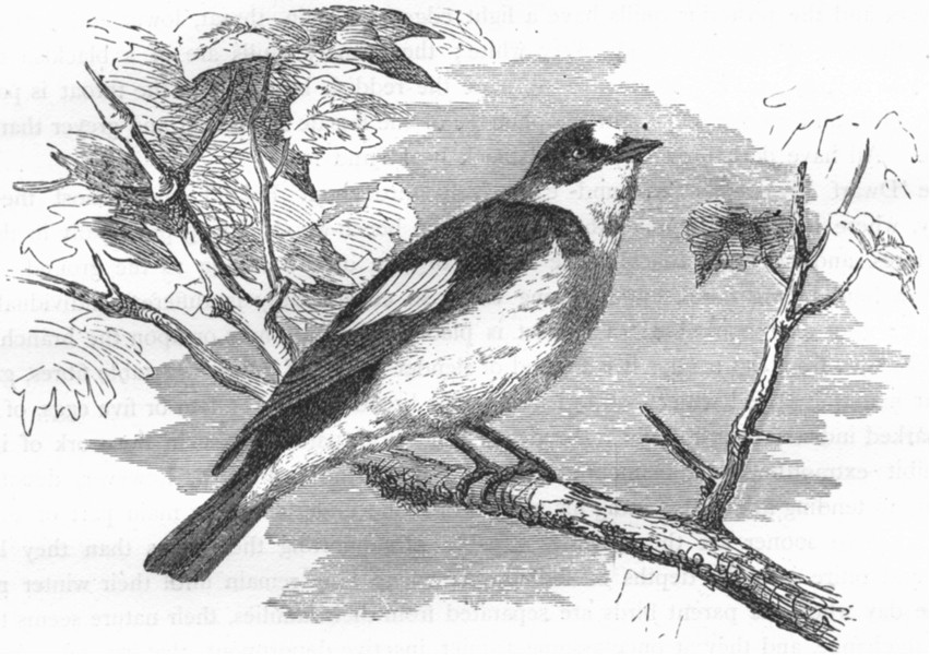 SINGING FLY-CATCHER. Collared White-Necked  c1870 old antique print picture