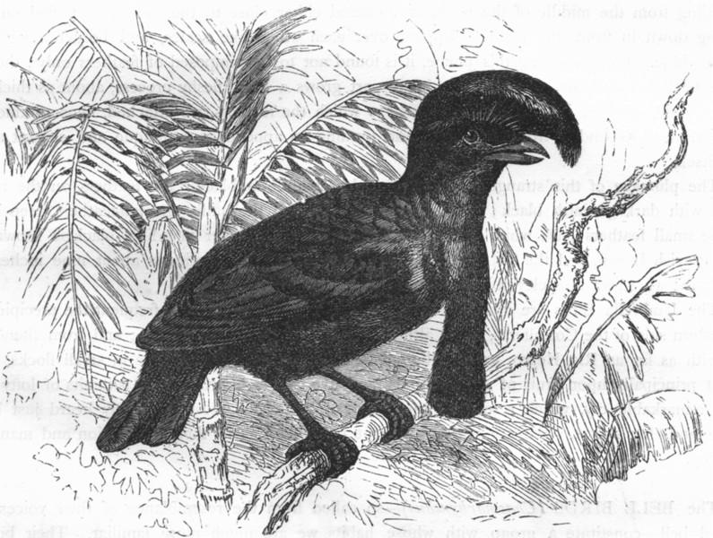 Associate Product BIRDS. Singing. Manakin. Umbrella Bird, Chatterer c1870 old antique print