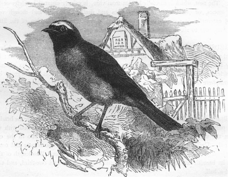 Associate Product BIRDS. Singing. Warbler. garden Redstart c1870 old antique print picture