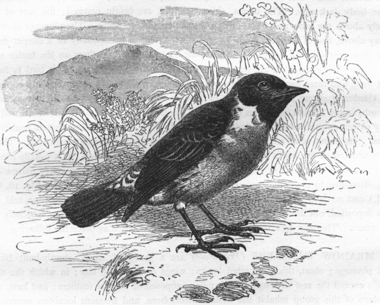 Associate Product SINGING WARBLER. Black-throated Meadow c1870 old antique vintage print picture