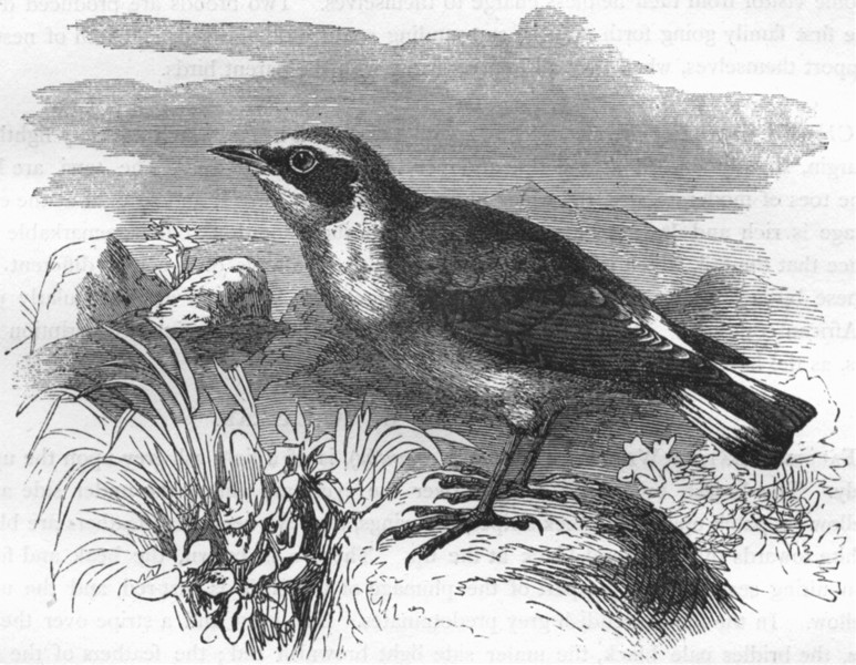 Associate Product BIRDS. Singing. Warbler. Wheatear c1870 old antique vintage print picture