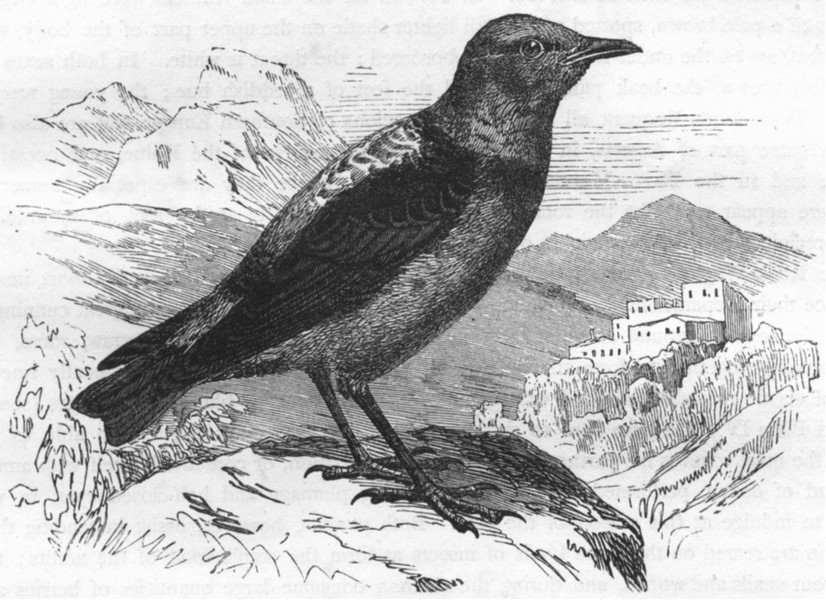 Associate Product BIRDS. Singing. Warbler. Stone Thrush, Rock Wagtail c1870 old antique print