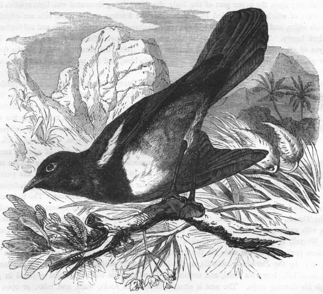 BIRDS. Singing. Warbler. Bush c1870 old antique vintage print picture