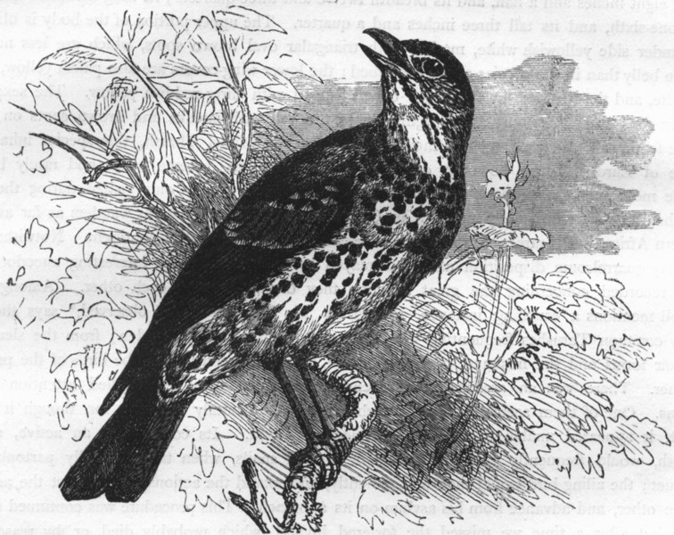 Associate Product BIRDS. Singing. Thrush. Song c1870 old antique vintage print picture