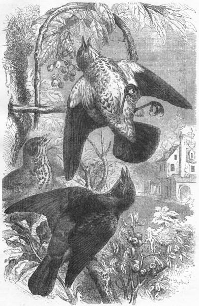 Associate Product BIRDS. Singing. Thrush. Fieldfares c1870 old antique vintage print picture