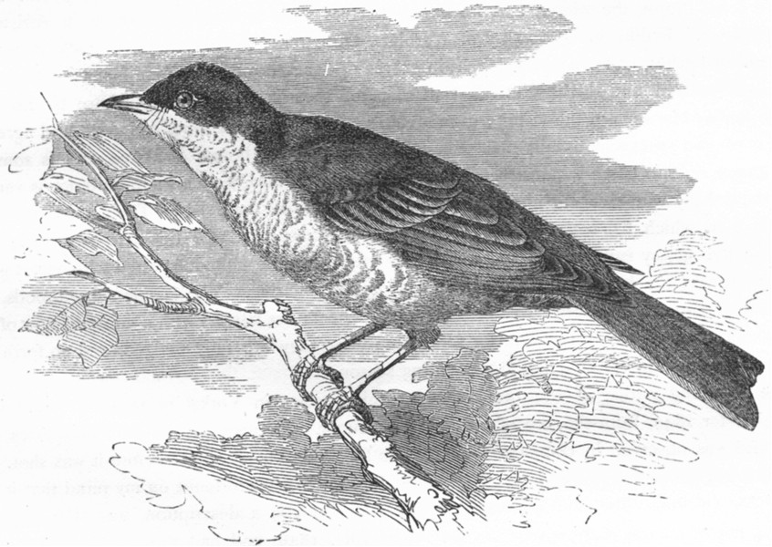 Associate Product BIRDS. Singing. Sparrow Hawk Warbler c1870 old antique vintage print picture
