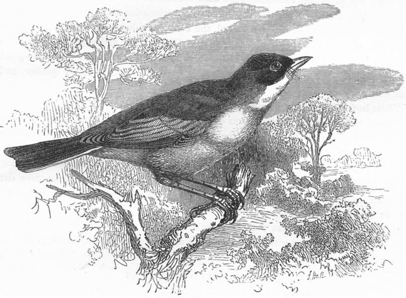 BIRDS. Singing. Spectacled Warbler c1870 old antique vintage print picture
