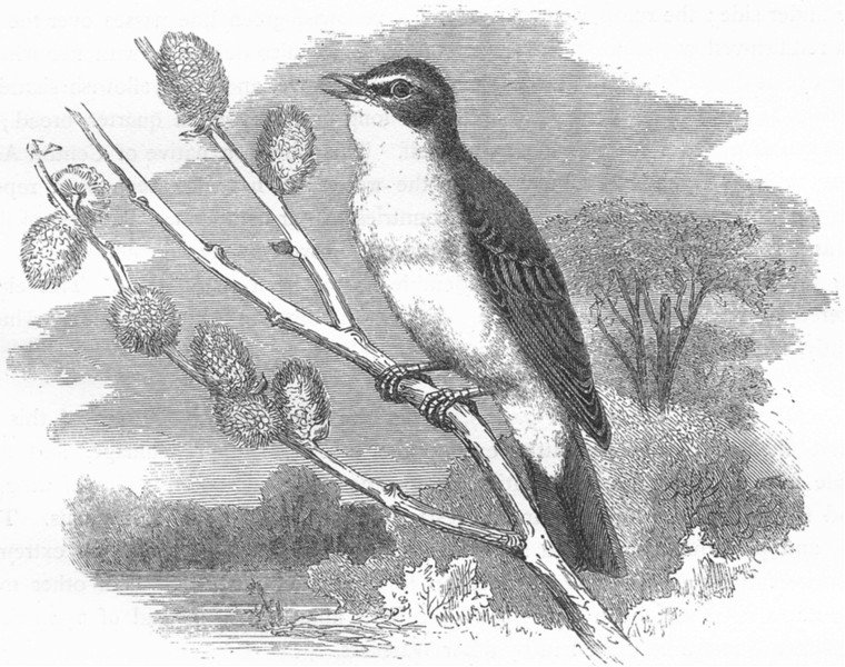 Associate Product SINGING WARBLER. Field Tree, Willow Wren c1870 old antique print picture