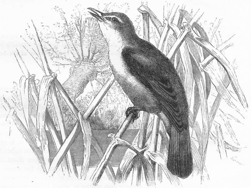 Associate Product BIRDS. Singing. Reed Warbler c1870 old antique vintage print picture