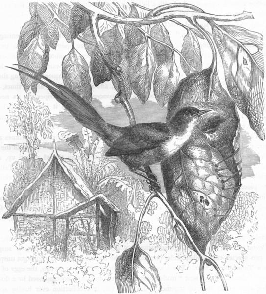 Associate Product BIRDS. Singing. Warbler. Long-tailed Tailor Bird c1870 old antique print