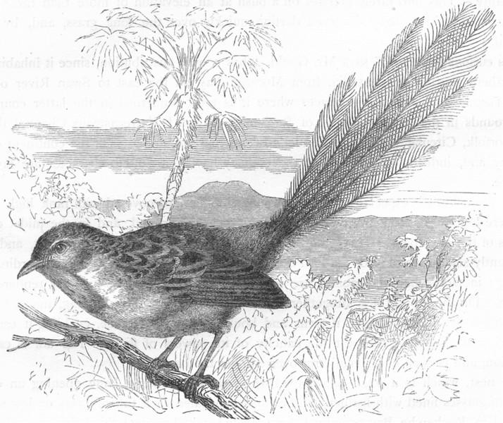 Associate Product BIRDS. Singing. Warbler. Emu Wren c1870 old antique vintage print picture