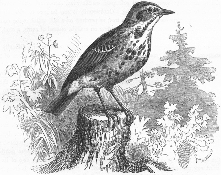 Associate Product BIRDS. Singing. Tree Pipit c1870 old antique vintage print picture