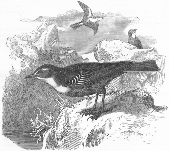 Associate Product BIRDS. Singing. Rock Pipit c1870 old antique vintage print picture