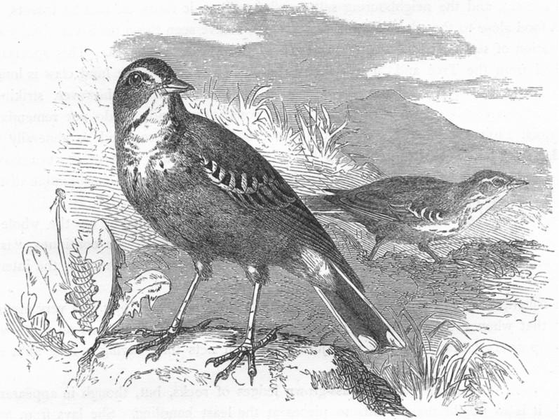 Associate Product BIRDS. Singing. Fallow-Land Pipit c1870 old antique vintage print picture