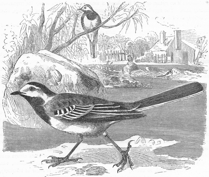 Associate Product BIRDS. Singing. White Wagtail c1870 old antique vintage print picture