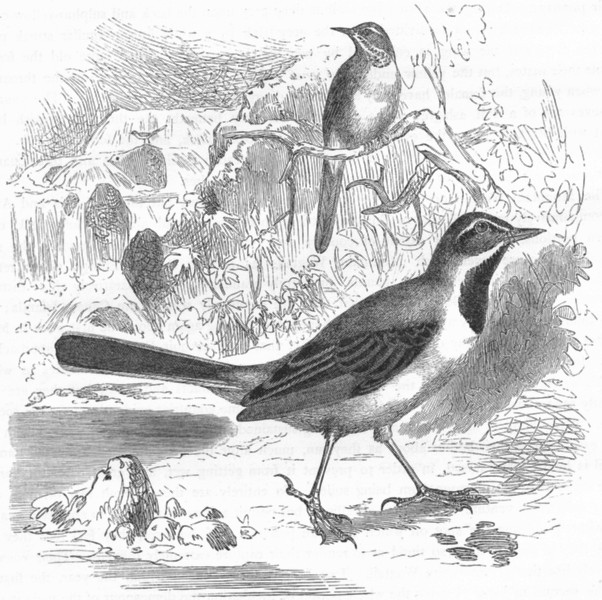 Associate Product BIRDS. Singing. Mountain Wagtail c1870 old antique vintage print picture