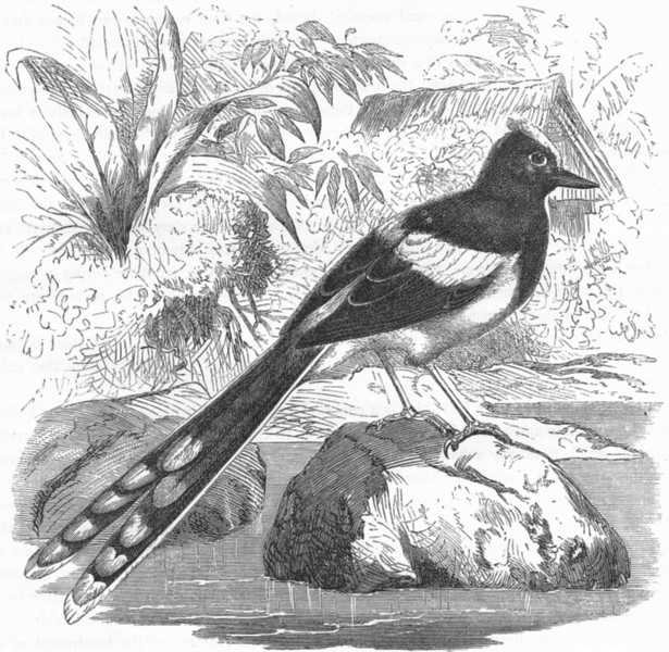 Associate Product BIRDS. Singing. Wagtail. Meninting c1870 old antique vintage print picture