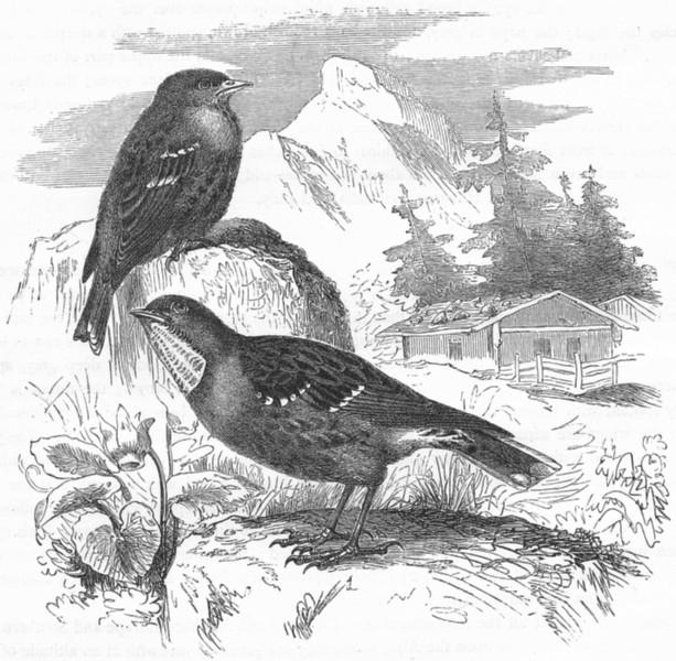 Associate Product BIRDS. Singing. Accentor. Alpine c1870 old antique vintage print picture