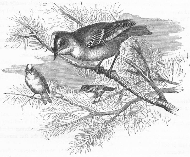 Associate Product BIRDS. Singing. Golden-crested Wren c1870 antique vintage print picture