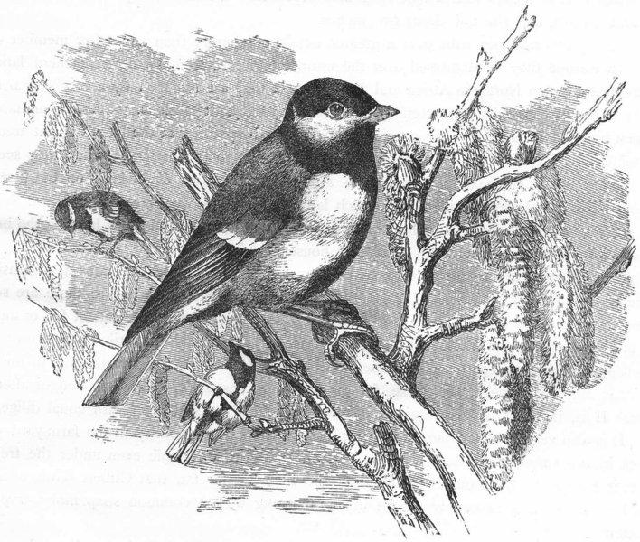 Associate Product BIRDS. Singing. Great Tit c1870 old antique vintage print picture