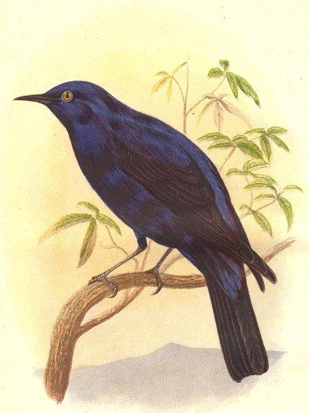 Associate Product BIRDS. Blue Grandala c1870 old antique vintage print picture