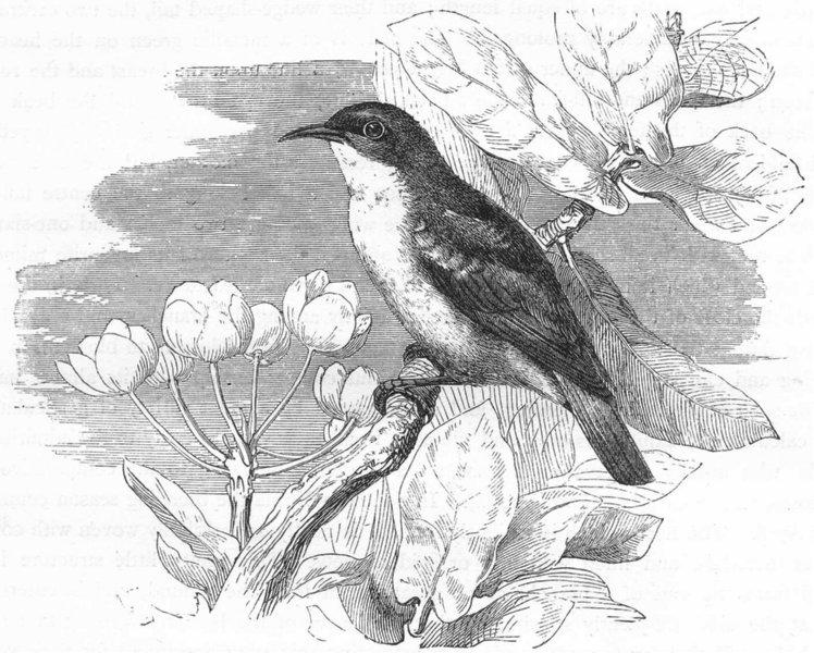 Associate Product BIRDS. Searcher. Climber. Abu-Risch c1870 old antique vintage print picture