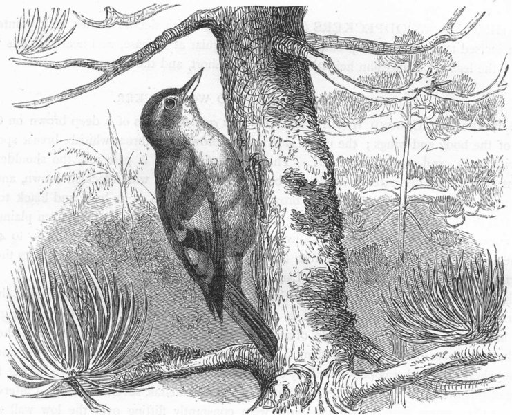 Associate Product SEARCHER. Tree Climber. Hairy-Cheeked Stair-beak c1870 old antique print