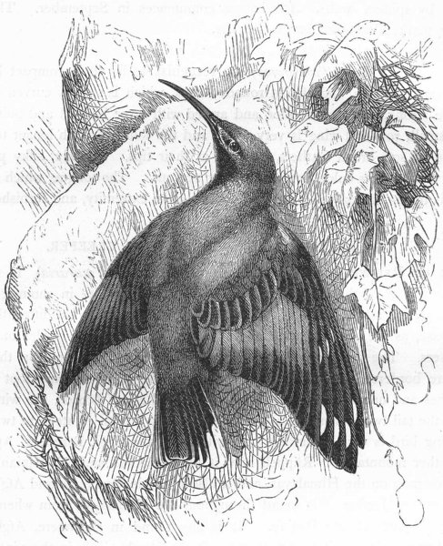 Associate Product BIRDS. Searcher. Tree Climber. Alpine Wall-creeper c1870 old antique print