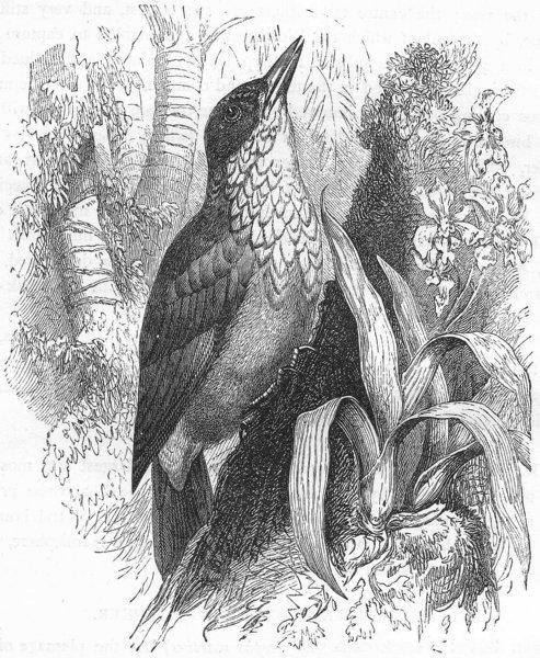 Associate Product BIRDS. Searcher. Tree Climber. Woodpecker-chopper c1870 old antique print